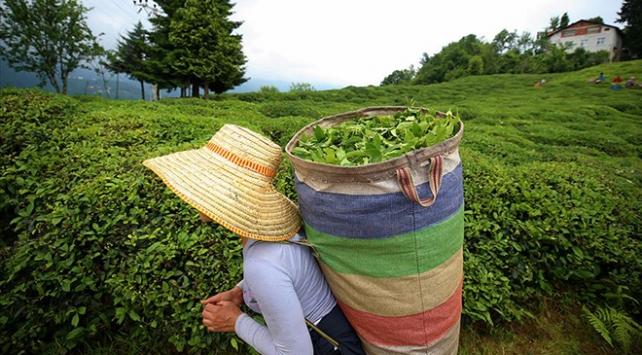 Yaş çay için fark ödemesi belli oldu
