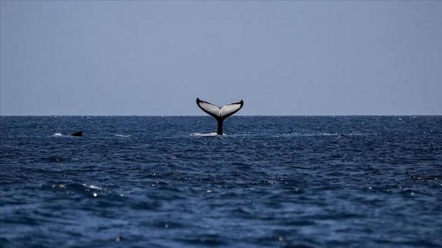 Yeni Zelandada 120den fazla balina ve yunus karaya vurdu