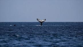 Yeni Zelanda'da 120'den fazla balina ve yunus karaya vurdu