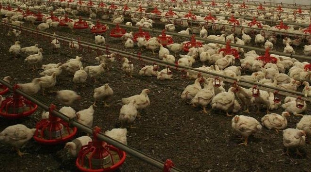Güney Korede 390 binden fazla tavuk ve ördek itlaf edildi