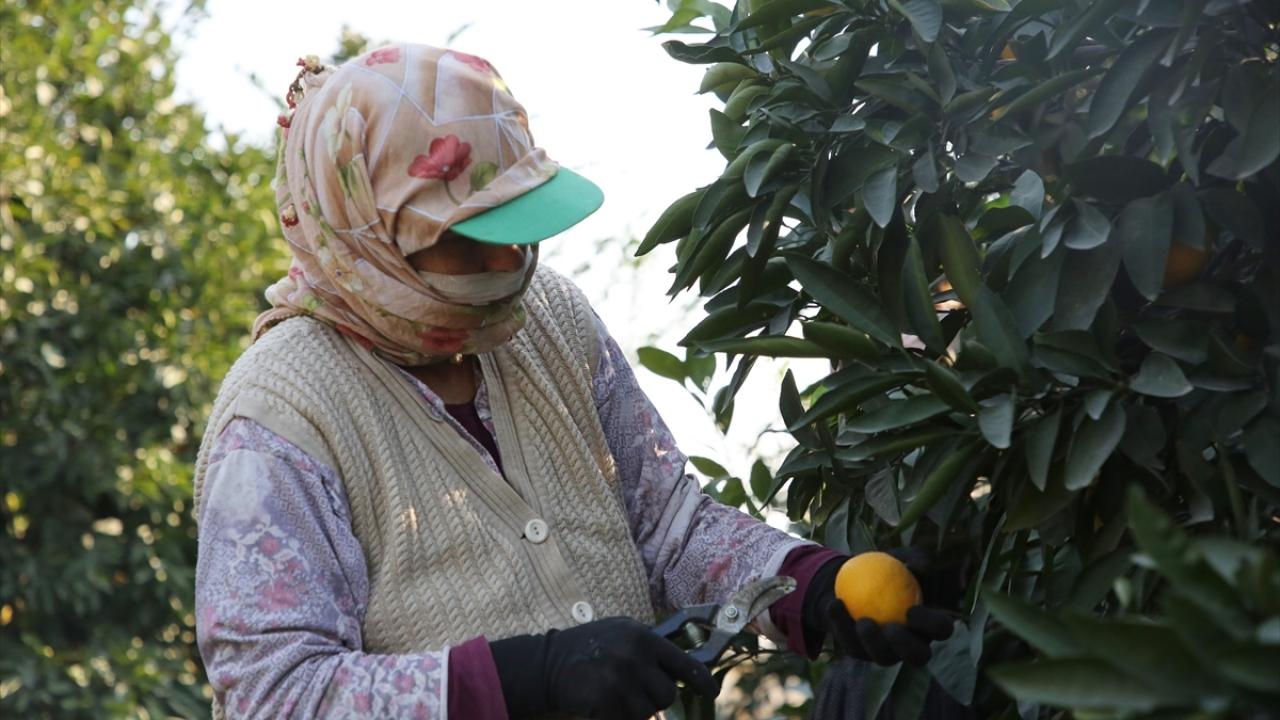 Çukurovalı kadınlar turunçgil hasadıyla aile ekonomisine katkı sağlıyor
