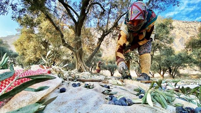 Manisa'da zeytin hasadı