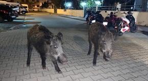 Marmaris'te şehre inen domuzlar tedirginliğe sebep oldu