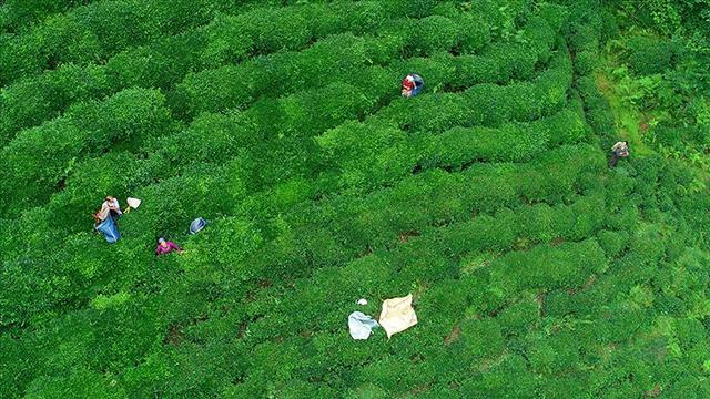 Yılın ilk ayında 60 ülkeye çay ihracatı