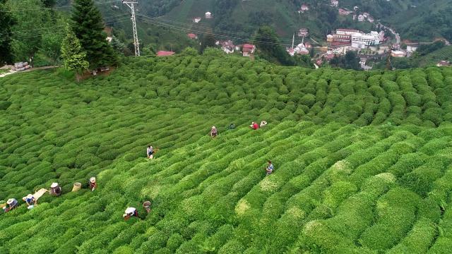 Çay ihracatının yüzde 50si Rizeden gerçekleşti