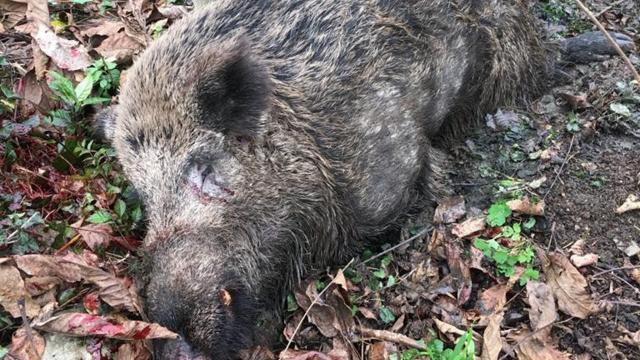 Bahçede çalışan kadın domuz saldırısına uğradı