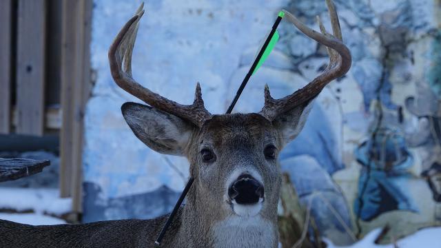 Kanadada bir geyik kafasında okla yaşıyor