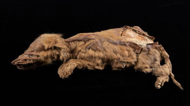 57 bin yıllık kurt yavrusu fosili mükemmel durumda
