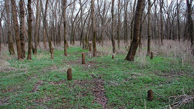 Ağaçların kesildiği Tavuk Ormanında inceleme yapılacak