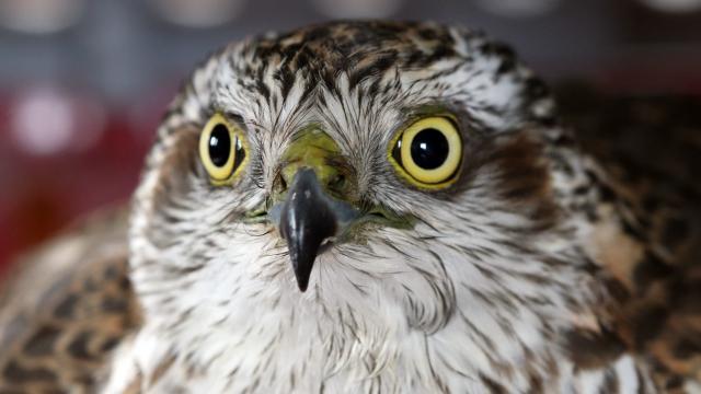 Atmaca kuşları Ağrı Dağı Milli Parkına sadık kaldı