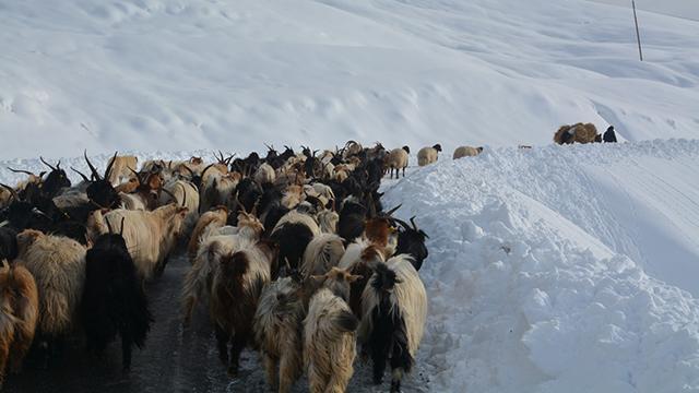 Karda mahsur kalan çoban ve koyunlar kurtarıldı
