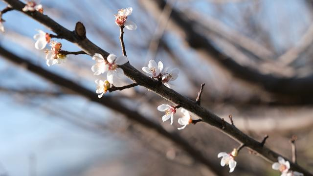 Mersinde ağaçlar kışın ortasında çiçek açtı