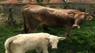 Şanlıurfa'da dumandan zehirlenen 5 inek telef oldu