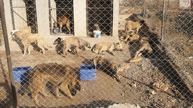 Baygın halde bulunan 29 köpek koruma altına alındı