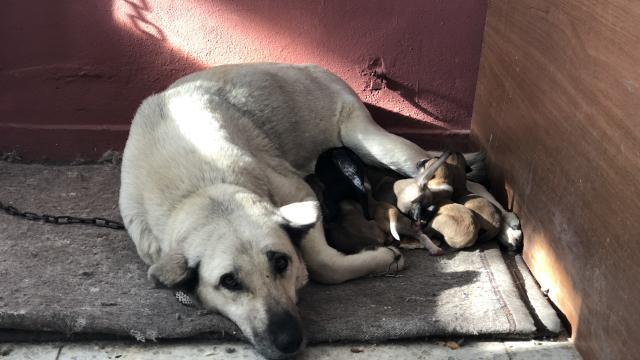 Araziye terk edilen yavru köpeklere barınaktaki anne köpek sahip çıktı