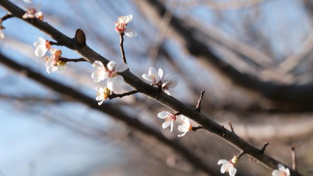 Mersinde erik ağaçları çiçek açtı