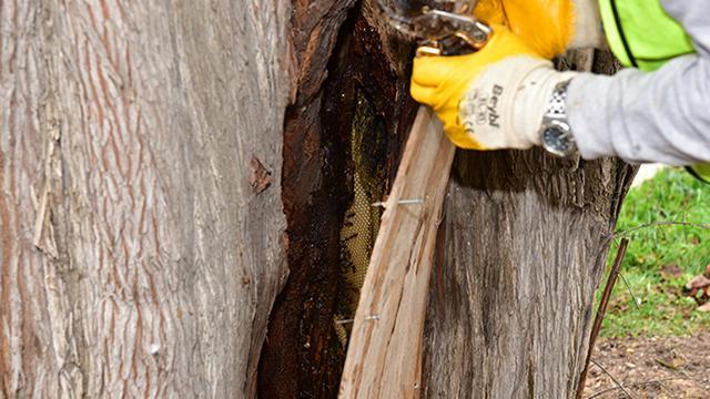 6 asırlık ağacın kavuğuna arılar bal yaptı
