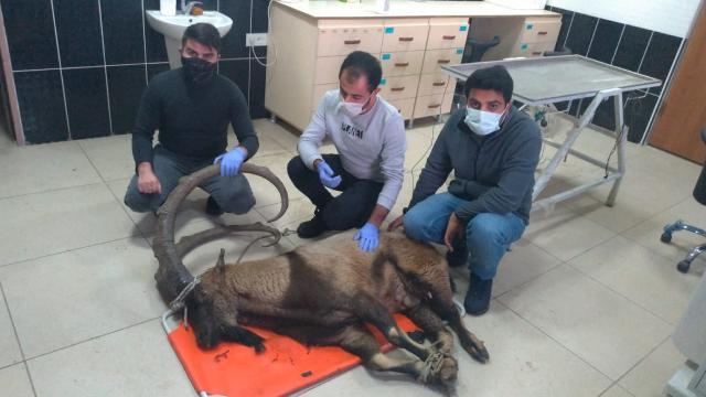 Ayağı kırık halde bulunan yaban keçisi tedaviye alındı