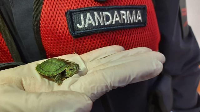 Yolcu otobüsünde uygunsuz koşullarda taşınan 100 su kaplumbağası bulundu