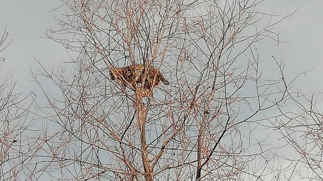 Köpeklerden kaçan vaşak ağaca tırmandı
