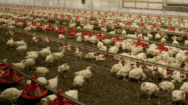 Macaristanda 100 binden fazla tavuk itlaf edildi