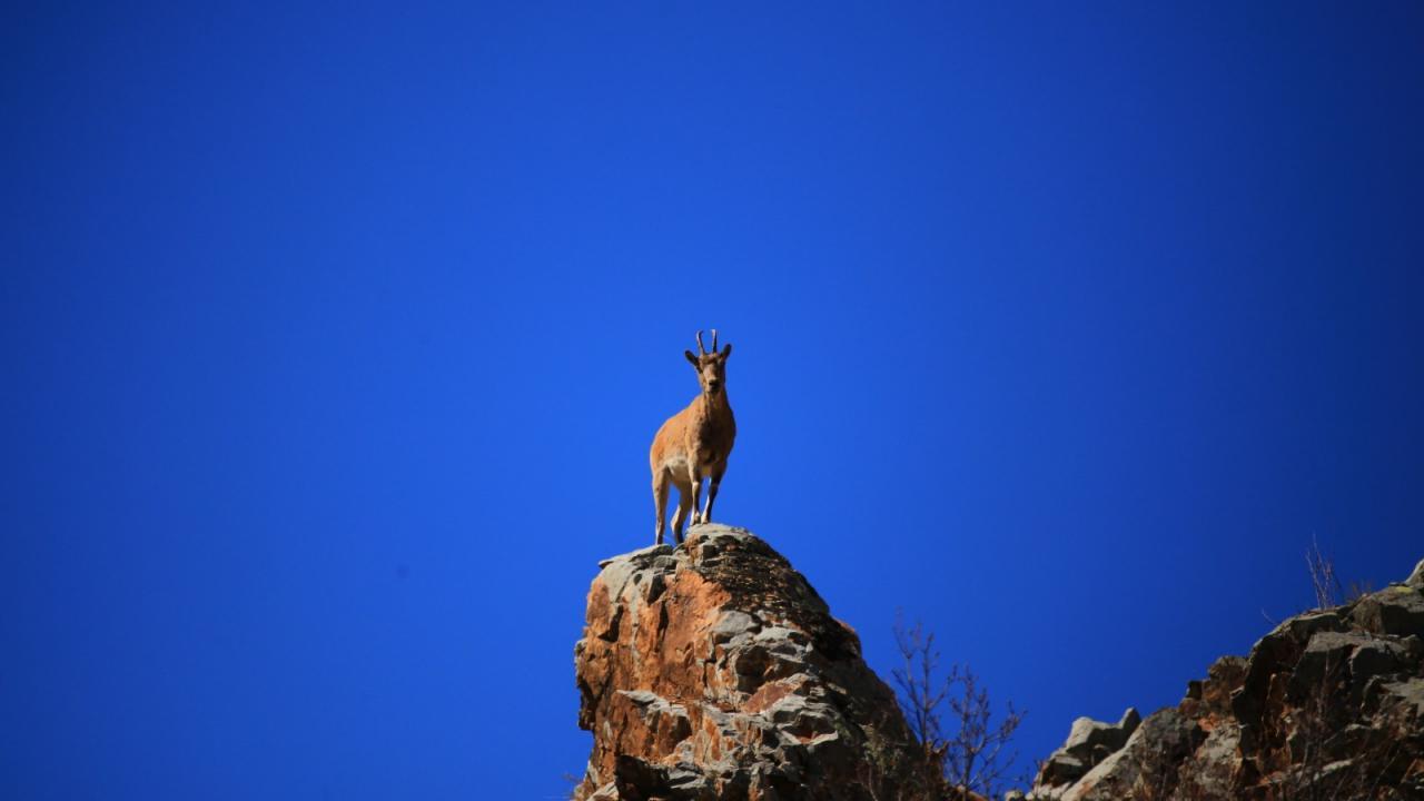 Gümüşhane dağlarının en ihtişamlı süsü: Yaban keçisi