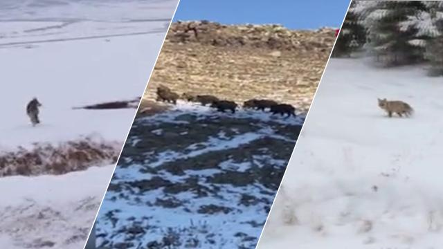 Ardahanda yiyecek arayan yabani hayvanlar köylere kadar indi