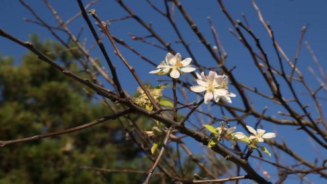 Meyve ağaçları kış ayında çiçek açtı