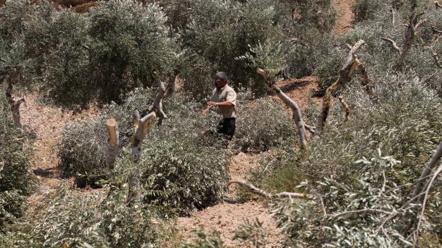 Batı Şeriada Filistinlilere ait 2 bin zeytin ağacını söküldü