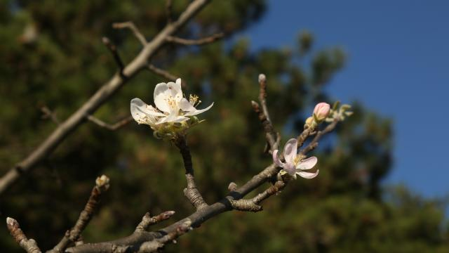 Kastamonuda meyve ağaçları kış ayında çiçek açtı