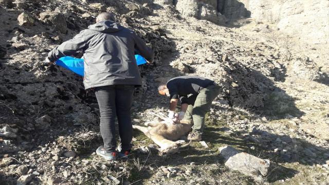 Tuncelide nesli tehlike altındaki 8 yaban keçisi telef oldu