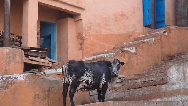 Hindistanda inek bilimi sınavı yapılacak