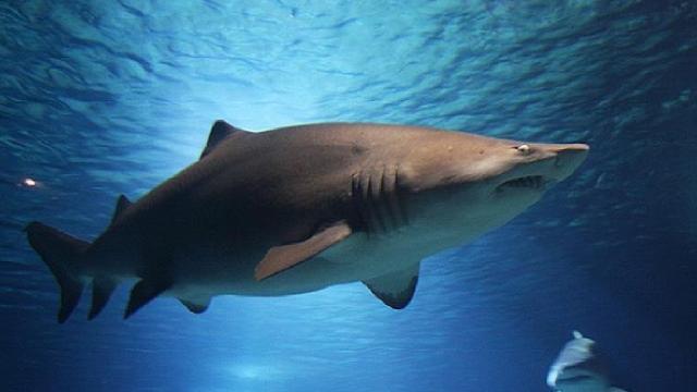 Okyanuslardaki köpek balığı ve vatoz popülasyonu azaldı