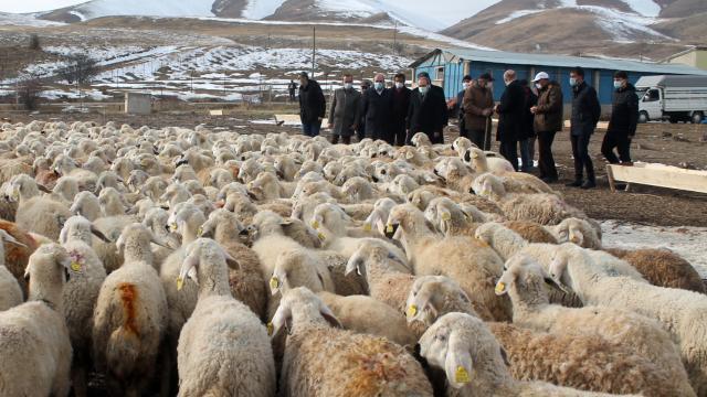 Bayburtta 4 çiftçiye 400 koyun verildi