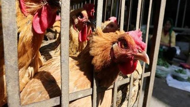 Senegalde kuş gribi nedeniyle 42 bin kanatlı hayvan itlaf edildi