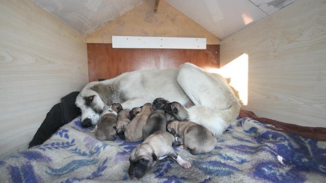 Koronavirüs savaşçısı sağlıkçılar 11 köpek yavrusu ve annesine sahip çıktı