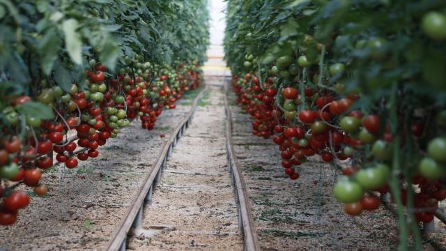 Türkiyenin domates ihracatı 313 milyon 405 bin dolara yükseldi