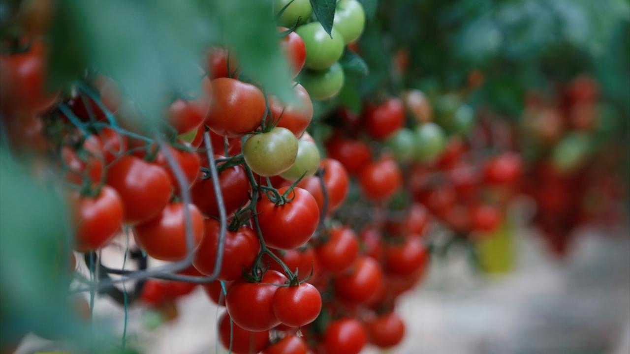 Rusya'nın domates ihracatına uyguladığı kota 250 bin tona yükseltildi