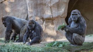 Gorillerde ilk kez koronavirüs görüldü