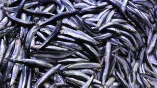 Sıcaklık balıkları da etkiledi: Tersine göçe başladılar