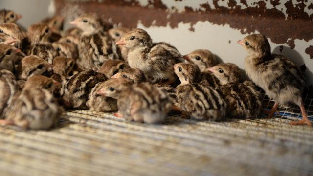Kahramanmaraşta 15 bin kınalı keklik yetiştirildi