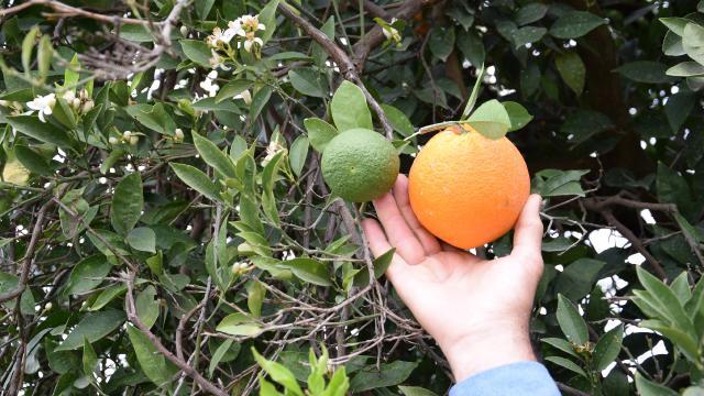 Antalyada yalancı bahar etkisi: Ağaçlar meyve verdi