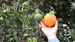 Antalya'da yalancı bahar etkisi: Ağaçlar meyve verdi