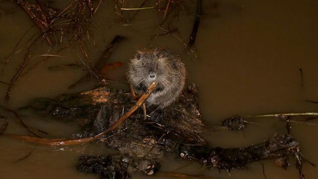 Tunca Nehrinde su maymunları görüntülendi