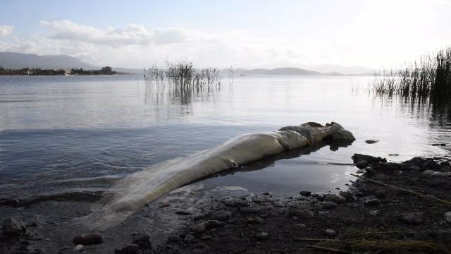 Köyceğiz sahilinde 2 metrelik yayın balığı kıyıya vurdu