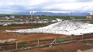 Güvercinler yiyecek için buğday pazarına akın ediyor