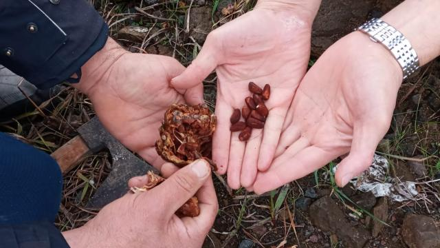Trabzonda çam fıstığı yetiştiriciliği yeni gelir kapısı olacak