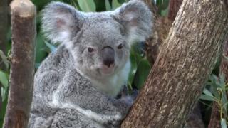 ABD'nin yaşlı koalası Lottie öldü