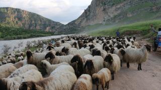 Siirt'te 'sürü' desteğine yoğun talep
