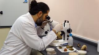 Ölümsüzlük mantarı olarak bilinen 'Ganoderma Lucidum'ın üretimine başlandı